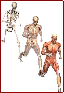 Bones Joints Muscles